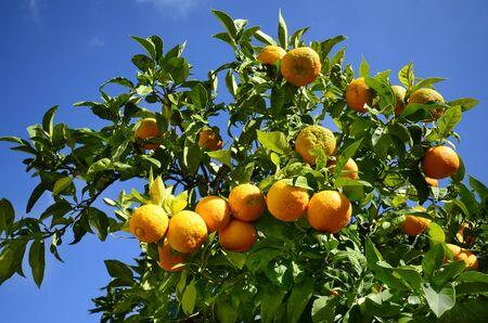 Greece, Crete, orange tree in the courtyard of monastery Angarathos
