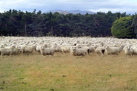 flock: New Zealand, flock of sheep