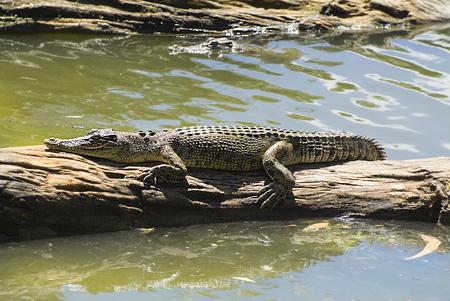 Australia, Saltwater Crocodile 版權商用圖片