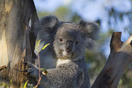 Australien, Koalabär