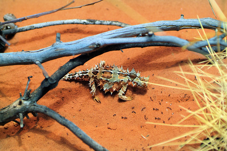 Zoology, thorny devil and ants