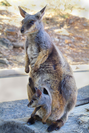 wallaby: Australia, black footed rock wallaby with Joey