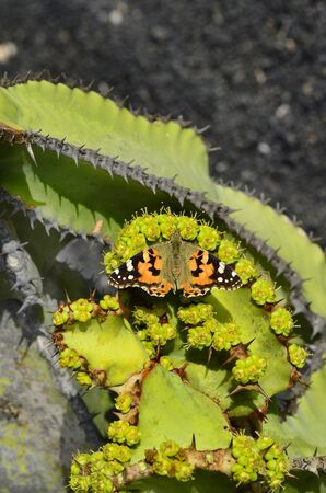 canary island: Canary Island, painted lady butterfly on cactus candelabra tree