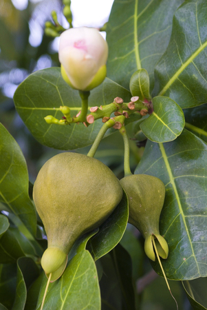 barringtonia: seeds of Barringtonia asiatica - a nocturnal flowering tree in South sea