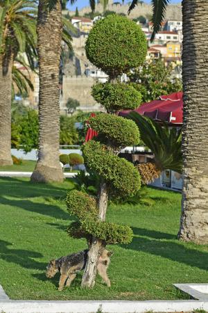 peeing: Greece, Kavala, peeing dog on artful cutted tree