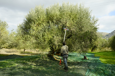 Greece, Crete, unidentified man with tool by olive harvest