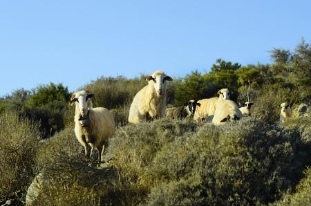 flock: Greece, Crete, flock of sheep