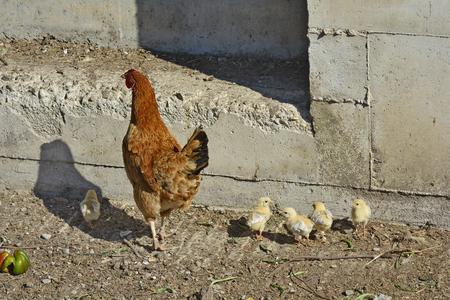 pollitos: Grecia, gallina con pollitos