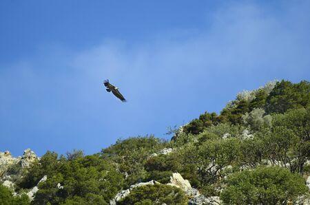 crete: Greece, Crete, eurasian griffon