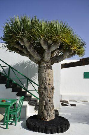 lanzarote: Lanzarote, dragon tree