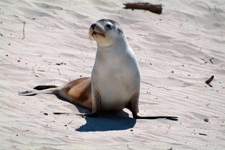 kangaroo island: Australia, australian sea lion on seal bay, Kangaroo Island