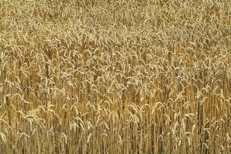 austria: Austria, wheat