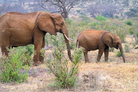 Zoología, elefantes africanos Foto de archivo