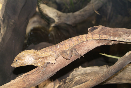 zoology: Australia, Frilled Lizard