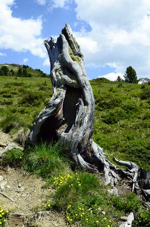 tree stump: Austria, Tirol, tree stump on mountain pasture