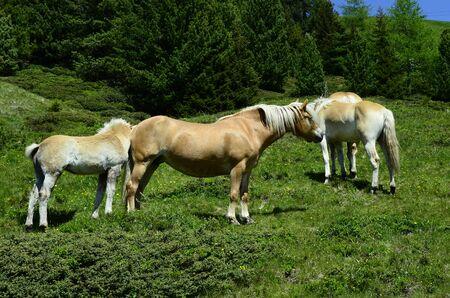 tirol: Austria, Tirol, haflinger horses on mountain pasture