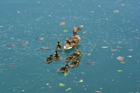 wild duck: Slovenia, wild duck with ducklings on lake Bled