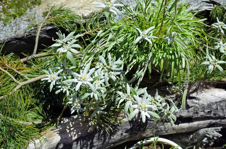 protected plant: Austria, alpine plant Edelweiss Stock Photo