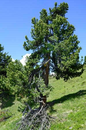 tirol: Austria, Tirol, conifer Stock Photo