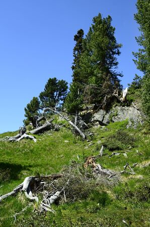 tirol: Austria, Tirol, forest with conifers and tree stumps Stock Photo