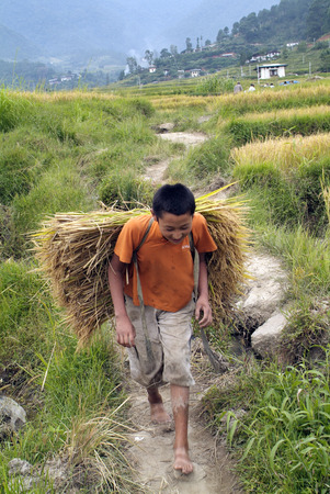 manually: Lobesa, Bhutan - September 24th 2007: Unidentified peasant carry rice plants by manually rice harvest Editorial