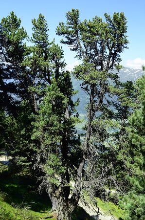 tirol: Austria, Tirol, stone pine Stock Photo