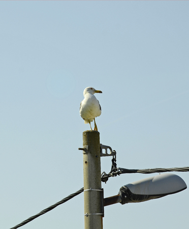 lamp post: Croatia, Savudrija, seagull on lamp post Stock Photo