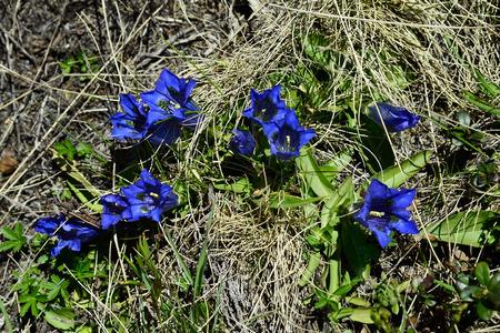 gentian flower: Austria, Tirol, alpine flower Clusius Gentian Stock Photo