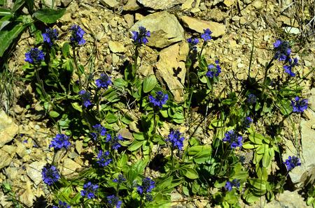 veronica flower: Austria, Tirol, Massliebchen speedwell flower