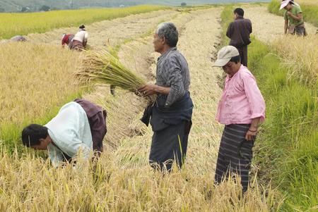 manually: Lobesa, Bhutan - September 24th 2007: Unidentified peasants on field by manually rice harvest