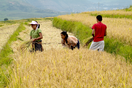 Lobesa, Bhutan - September 24th 2007: Unidentified peasants on field by manually rice harvest
