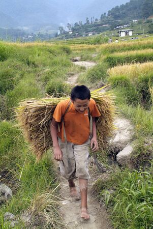 campesino: Lobesa, Bhutan - September 24th 2007: Unidentified peasant carry rice plants by manually rice harvest Editorial