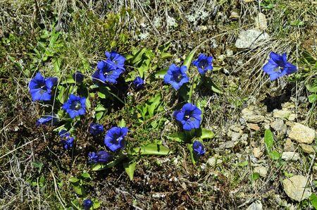 gentian flower: Austria, Tirol, alpine gentian