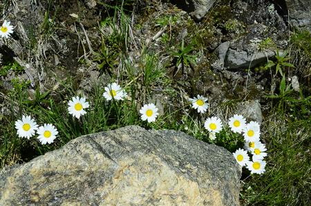 tirol: Austria, Tirol, alpine marguerite Stock Photo