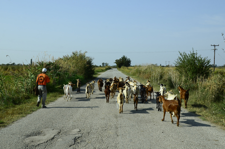 herder: Poros, Greece - September 18th 2016: Unidentified goat herder with goats in Evros delta