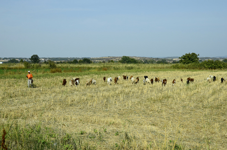 herder: Poros, Greece - September 18th 2016: Unidentified goat herder with goats on dry pasture in Evros area
