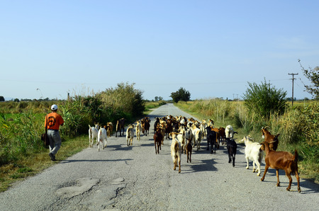 herder: Poros, Greece - September 18th 2016: Unidentified goat herder with goats on rural road in Evros area