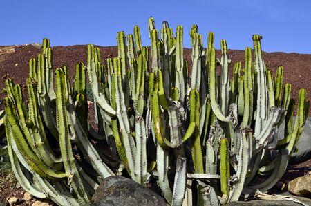 canariensis: cactus Euphorbia canariensis
