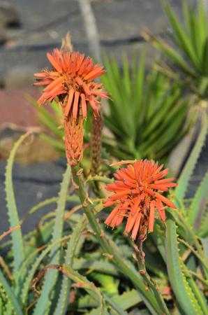 Spain, flowering Aloe plant