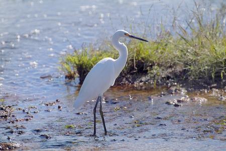 Australia, Great Egret