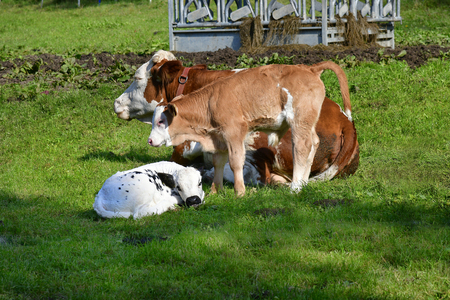 Austria, cattle breeding - mother with calfs on pasture Stock Photo
