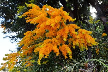 Australia, Nuytsia floribunda aka Western Australian Christmas Tree Stock Photo