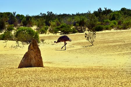 Australia, WA, wild emu in  National Park, preferred tourist attraction and natural landmark