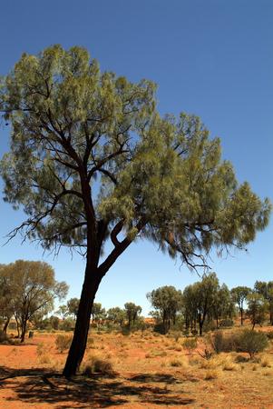 オーストラリア, 砂漠のオークの木