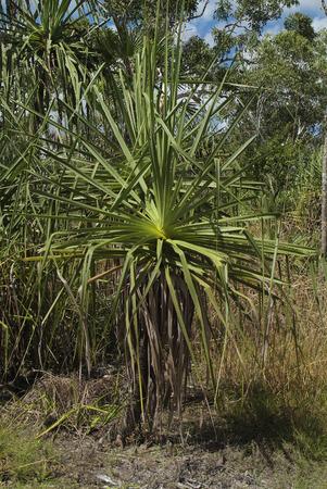 Australia, Spiral Pandanus - Spiral Screw Palm