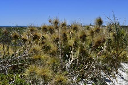 Australia, beach spinifex grass on coast of Indian ocean in Cervantes