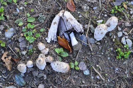 Botany, mushroom shaggy ink cap