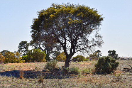 Australia, two kangaroos in shadow of tree in Mungo National Park in New South Wales