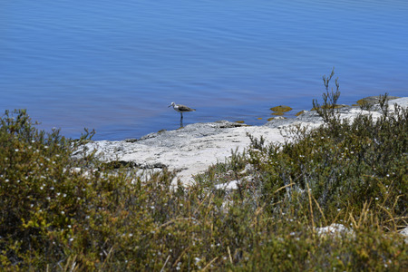 Australia, WA, water bird in lake Thetis Фото со стока - 98620466