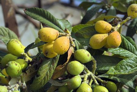 Turkey, fruits of common medlar